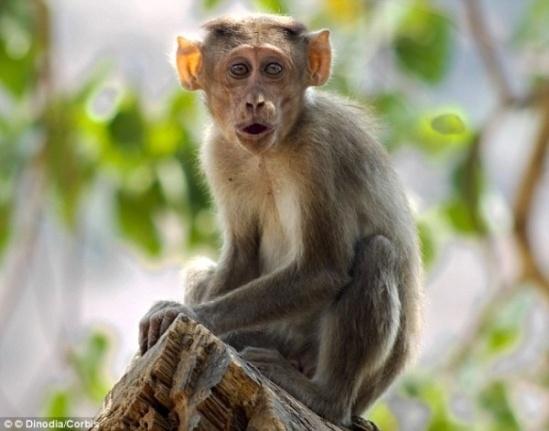 Vụ án hi hữu: Khỉ ăn cắp xe bus rồi gây tai nạn liên hoàn trên phố