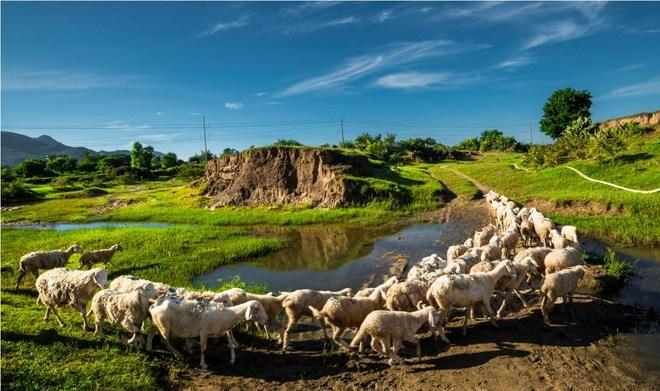 Cảm nhận hương vị đặc trưng của cừu nướng Ninh Thuận
