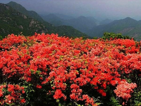 Chiêm ngưỡng sắc đỏ của đỗ quyên trên đỉnh Fansipan