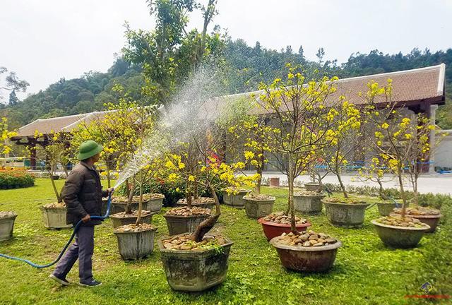 Độc đáo lễ hội mai vàng Yên Tử 2019